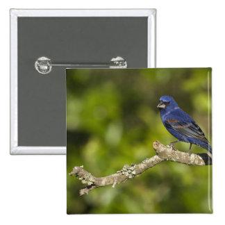 Blue Grosbeak,Passerina caeulea, Coastal Bend, Pinback Button