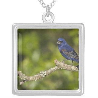 Blue Grosbeak,Passerina caeulea, Coastal Bend, Silver Plated Necklace
