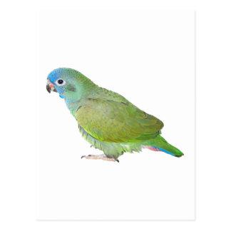 Blue Head Pionus Parrot Postcard