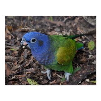 Blue Headed Amazon Parrot on ground Postcard