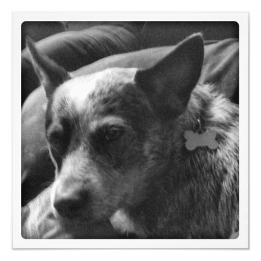 Blue Heeler in black and white Photograph