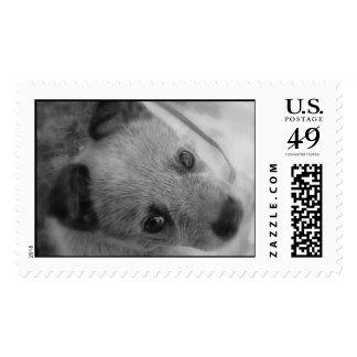Blue Heeler Stamp
