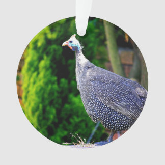 Blue Helmeted Guinea Fowl standing in the sun