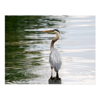 Blue Heron card Postcard