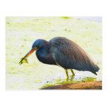 Blue Heron Having Lunch Postcard