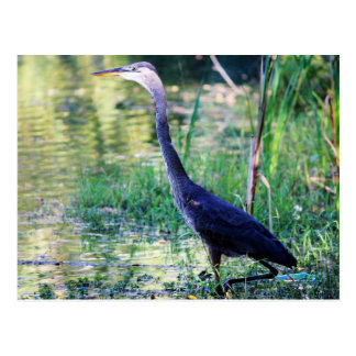 Blue Heron In Pond Postcard