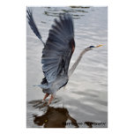 Blue Heron Print