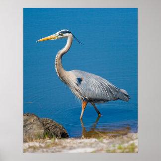 Blue Heron Wading Print