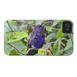 Blue Hummingbird Photo iPhone 4 Case-Mate Cases