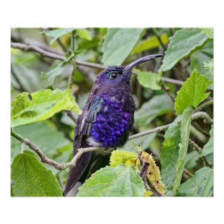 Blue Hummingbird Photo Poster