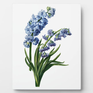 Blue Hyacinth Drawn from Nature Display Plaque