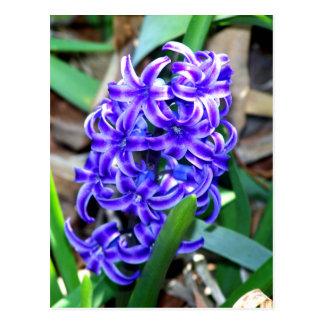 Blue Hyacinth Flower Postcard