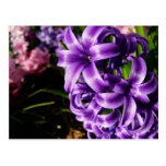 Blue Hyacinth II Spring Floral Postcard