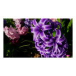 Blue Hyacinth II Spring Floral Poster