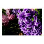 Blue Hyacinth II Spring Floral Poster