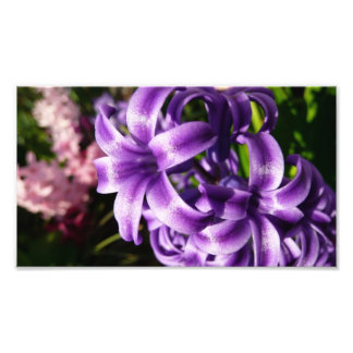 Blue Hyacinth Photo Print