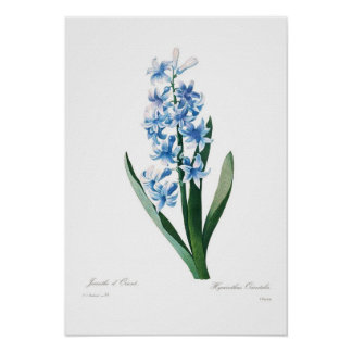 Blue Hyacinth Posters