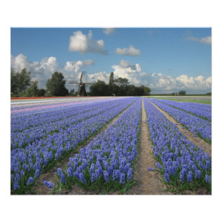 Blue Hyacinths in a Field Holland Poster
