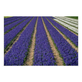 Blue hyacinths near Lisse, Holland flowers Print