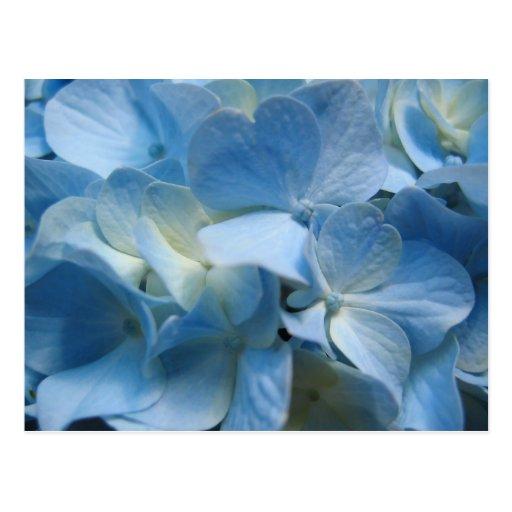 Blue Hydranea Post Cards