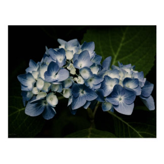 Blue Hydrangea 8514 Postcard
