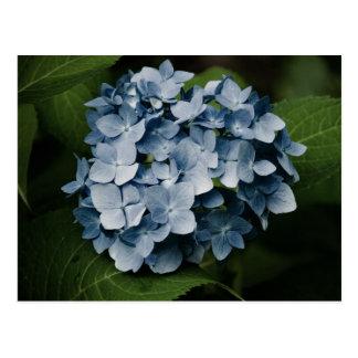 Blue Hydrangea 8515 Postcard