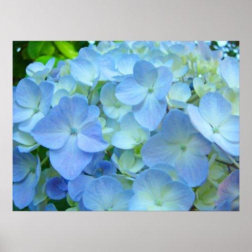 Blue Hydrangea Flowers Fine Art Prints Poster