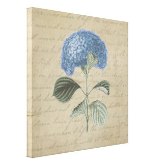 Blue Hydrangea on Vintage Calligraphy Gallery Wrapped Canvas