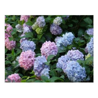 Blue Hydrangea Post Card