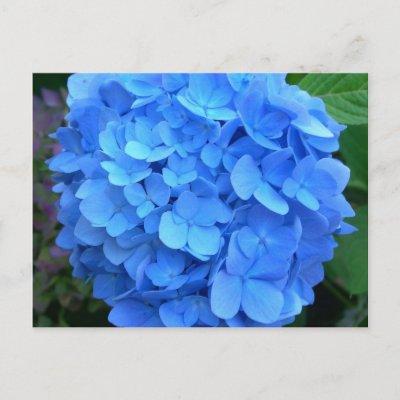 CountryMax.com Blue Hydrangea