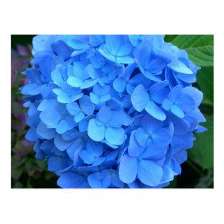 Blue Hydrangea Postcard