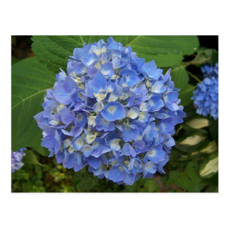 Blue -Hydrangea Postcard