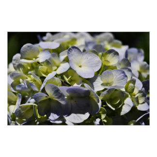 Blue Hydrangeas Flowers Poster
