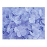 Blue Hydrangeas Postcards