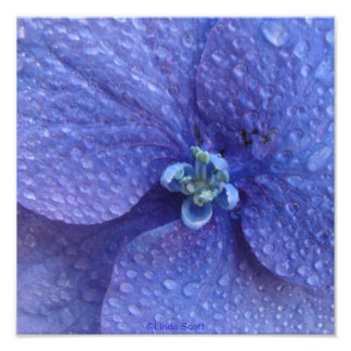 Blue Hydrenga Close up with rain drops Photo Print