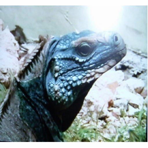 Blue-Iguana, the worlds rarest lizard, hanging on Photo Cutouts