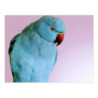 Blue Indian Ring Necked Parakeet With Red Nose Postcard