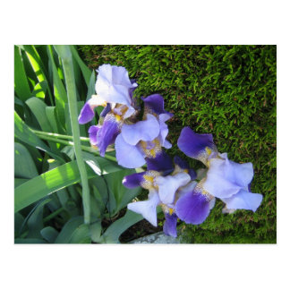 Blue Iris Family2 Postcard