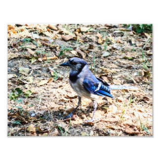 Blue Jay 2 Photo Print