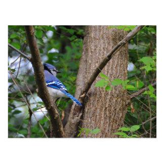 Blue Jay 2 Postcard