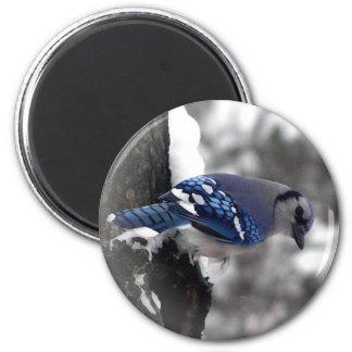 Blue Jay Bird 2 Inch Round Magnet