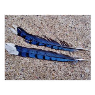 Blue Jay bird feathers Postcard