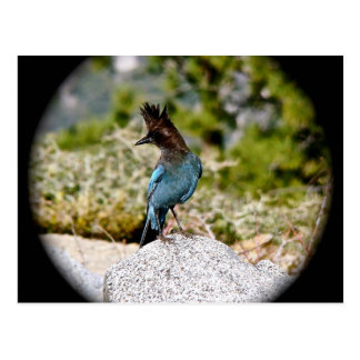 BLUE JAY BIRD IN SPRING POSTCARD