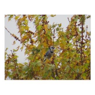 Blue Jay Bird In The Autumn Tree