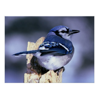 Blue Jay Bird Lovers Poster
