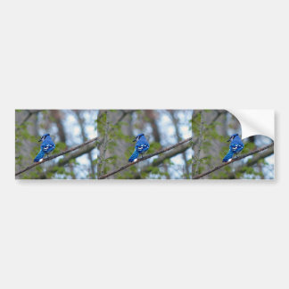 Blue Jay Bumper Sticker