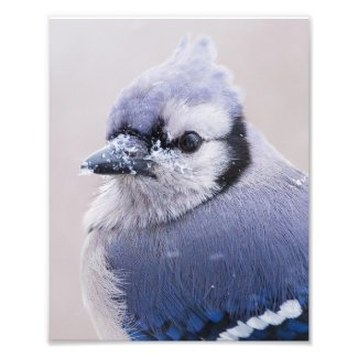 Blue Jay Closeup Photo Print