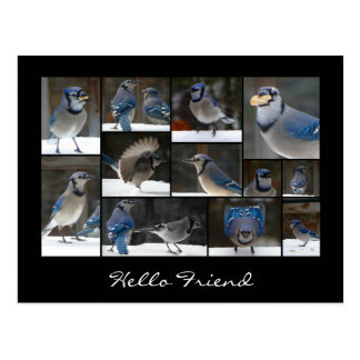 Blue Jay Collage Postcard