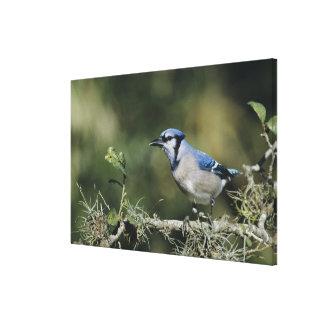 Blue Jay, Cyanocitta cristata,adult, San Canvas Print