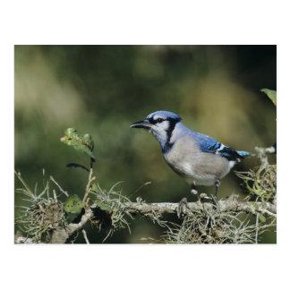 Blue Jay, Cyanocitta cristata,adult, San Postcard